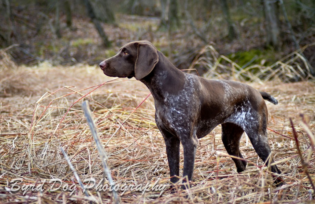 German Shorthaired Pointer Breed Guide Learn About The