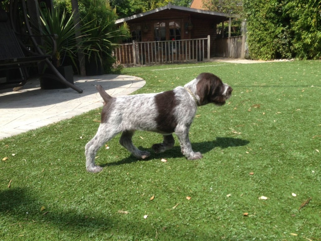 German Wirehaired Pointer Breed Guide Learn About The