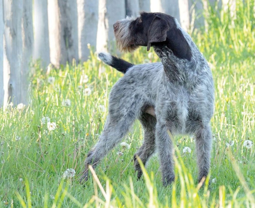 German Wirehaired Pointer Breed Guide - Learn about the German ...