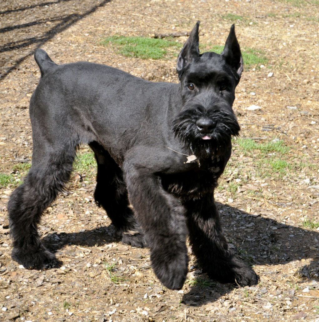 Schnauzer Giant Breed Guide Learn About The Schnauzer