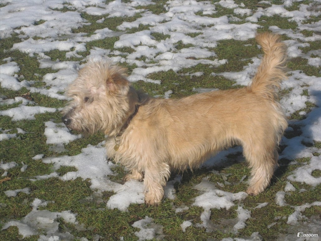 Glen Of Imaal Terrier Breed Guide Learn About The Glen