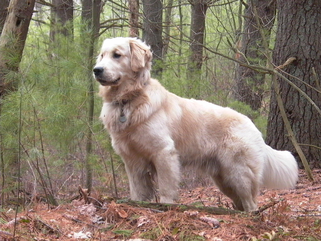 golden retriever breed guide learn about the golden retriever. Black Bedroom Furniture Sets. Home Design Ideas