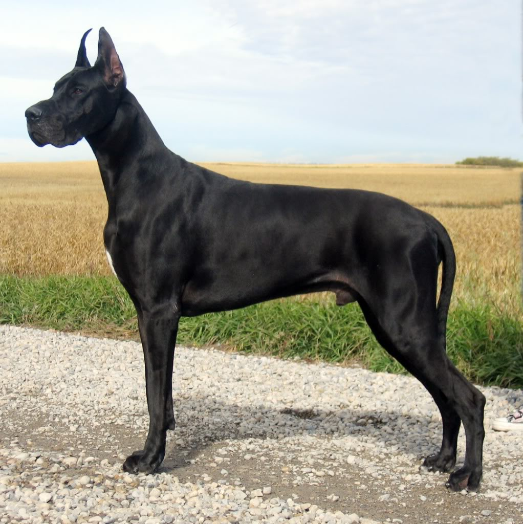 I A Great Dane Great Dane Breed Guide...