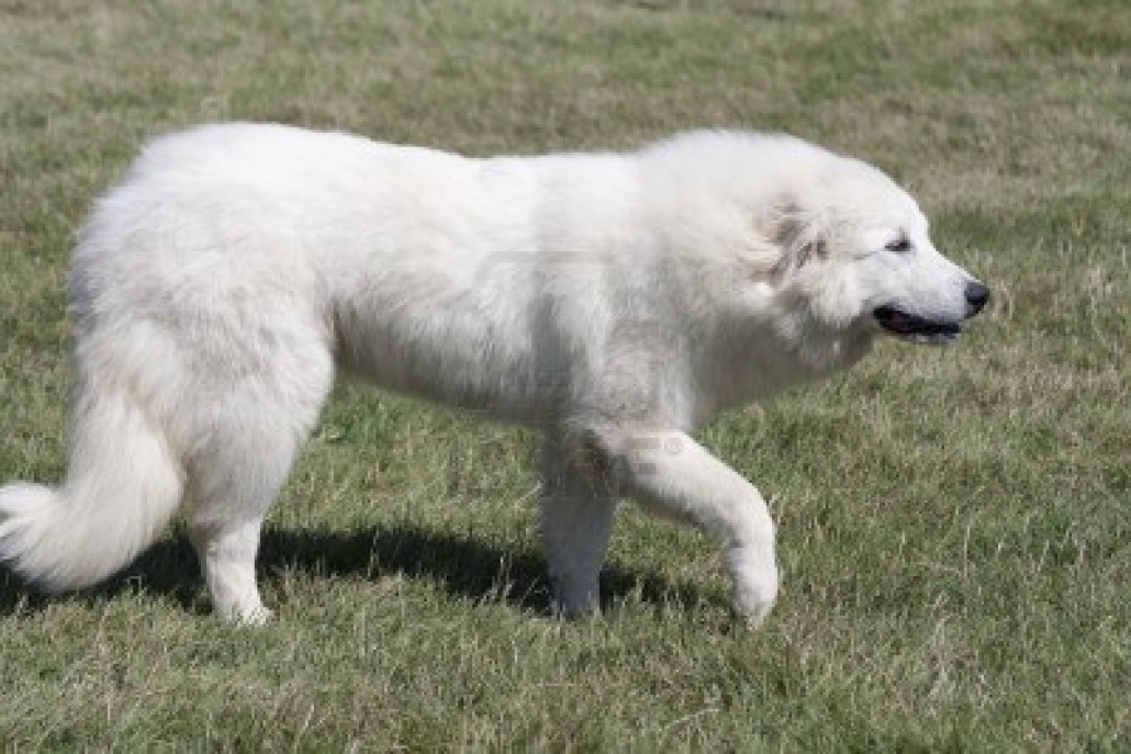 Great Pyrenees Breed Guide Learn About The Great Pyrenees