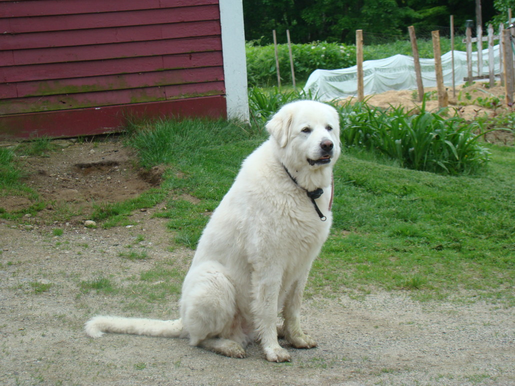 Great Pyrenees Breed Guide - Learn about the Great Pyrenees.