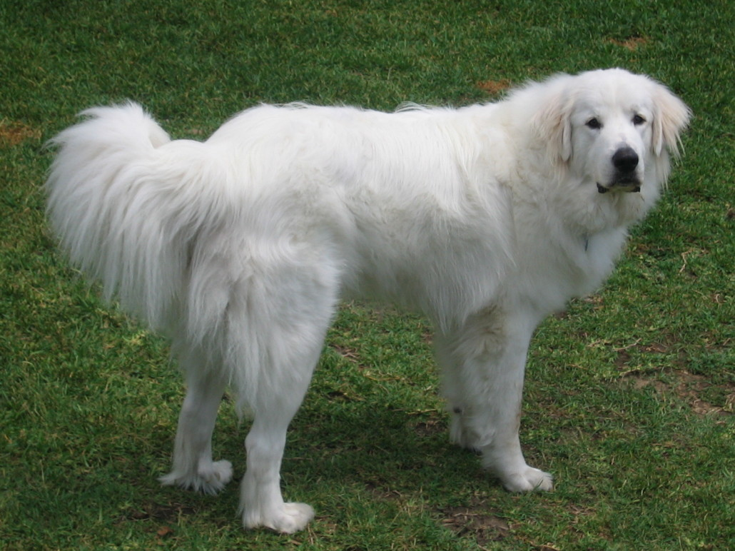 great pyrenees breed guide