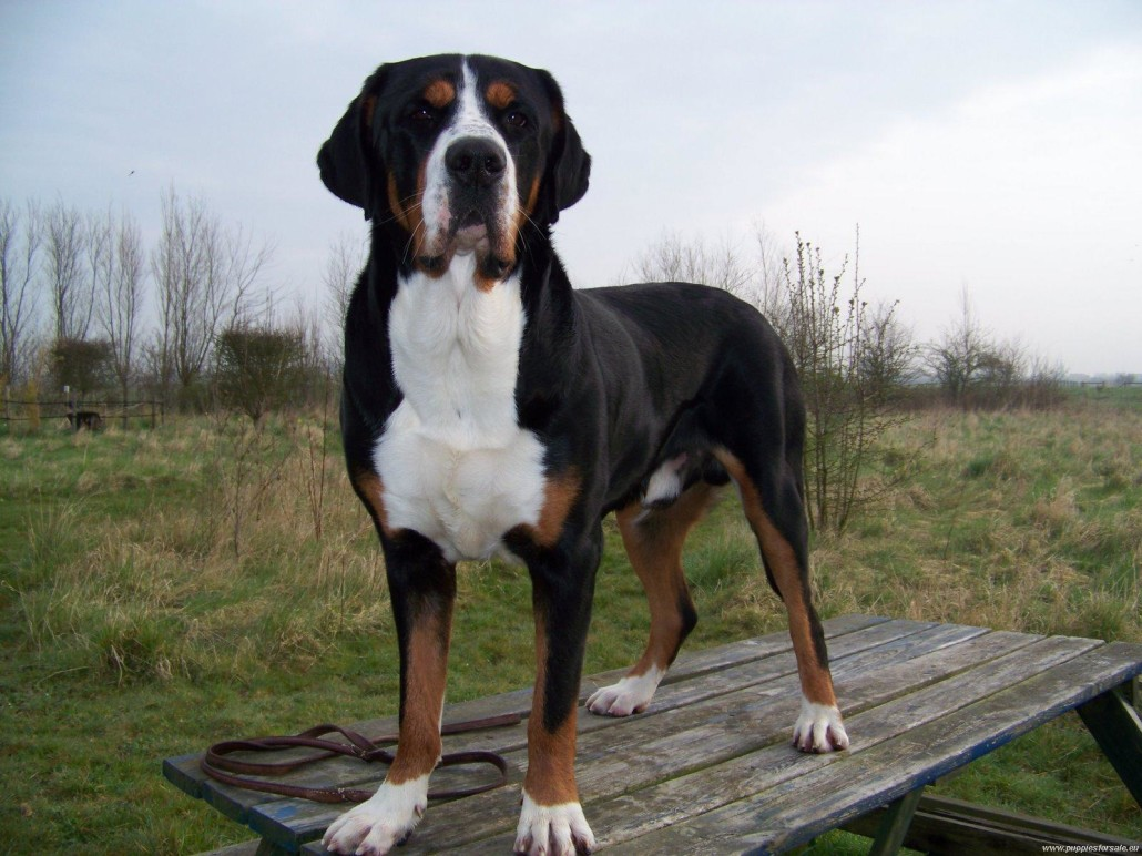 Greater Swiss Mountain Dog Breed Guide - Learn about the ... Greater Swiss Mountain Dog Exercise Requirements