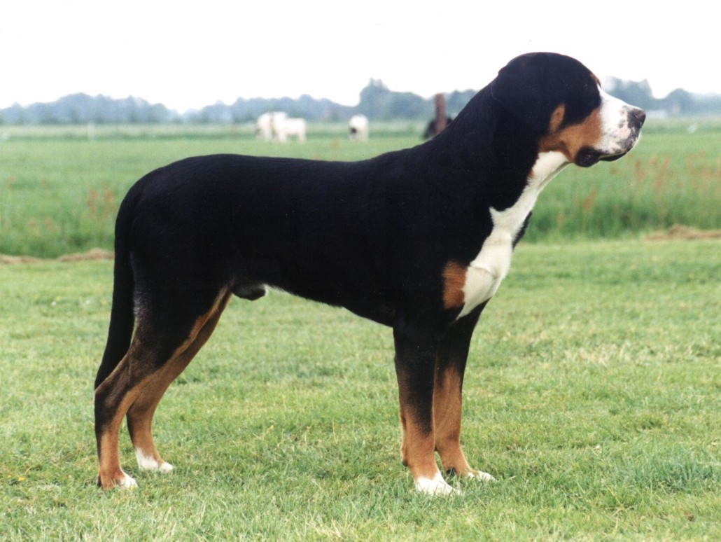 Greater Swiss Mountain Dog Breed Guide  Learn about the Greater Swiss Mountain Dog.