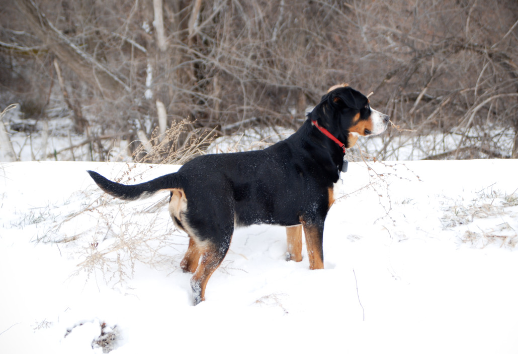 Greater Swiss Mountain Dog Breed Guide Learn About The