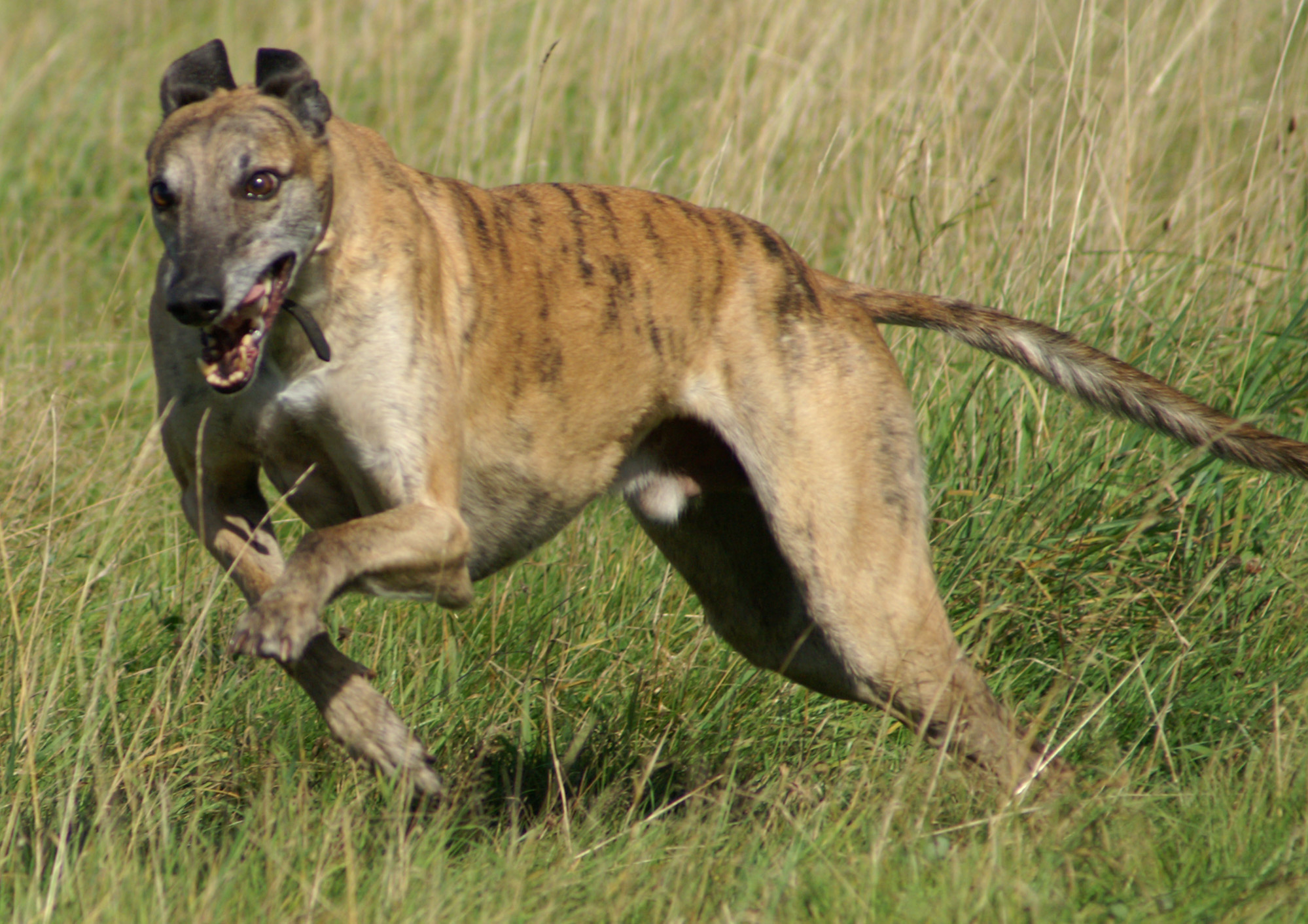 Greyhound Breed Guide Learn About The Greyhound
