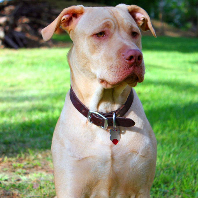 American Pitbull Terrier Breed Guide Learn About The