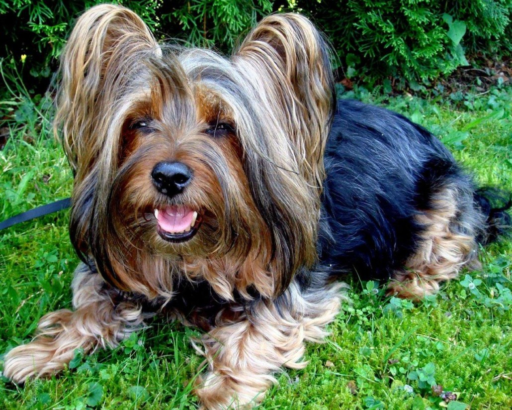 Australian Silky Terrier Breed Guide - Learn about the ...