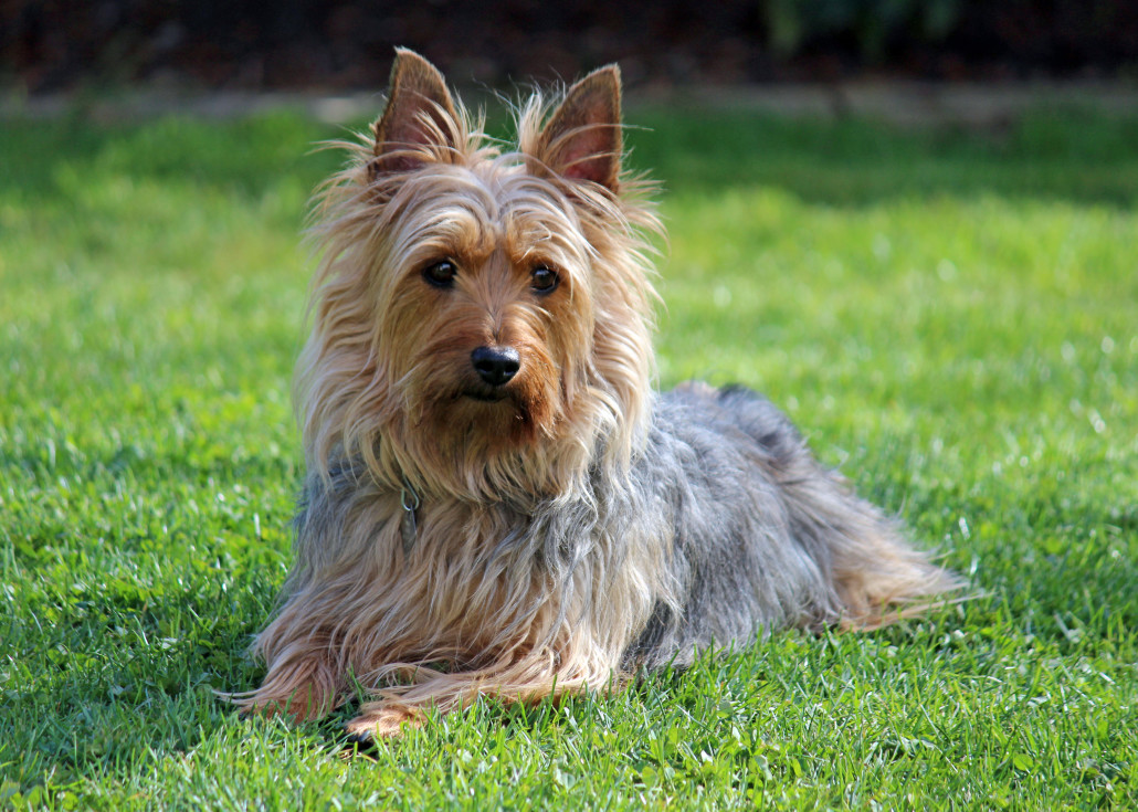silky terrier hypoallergenic australian silky terrier breed guide learn about the 6662
