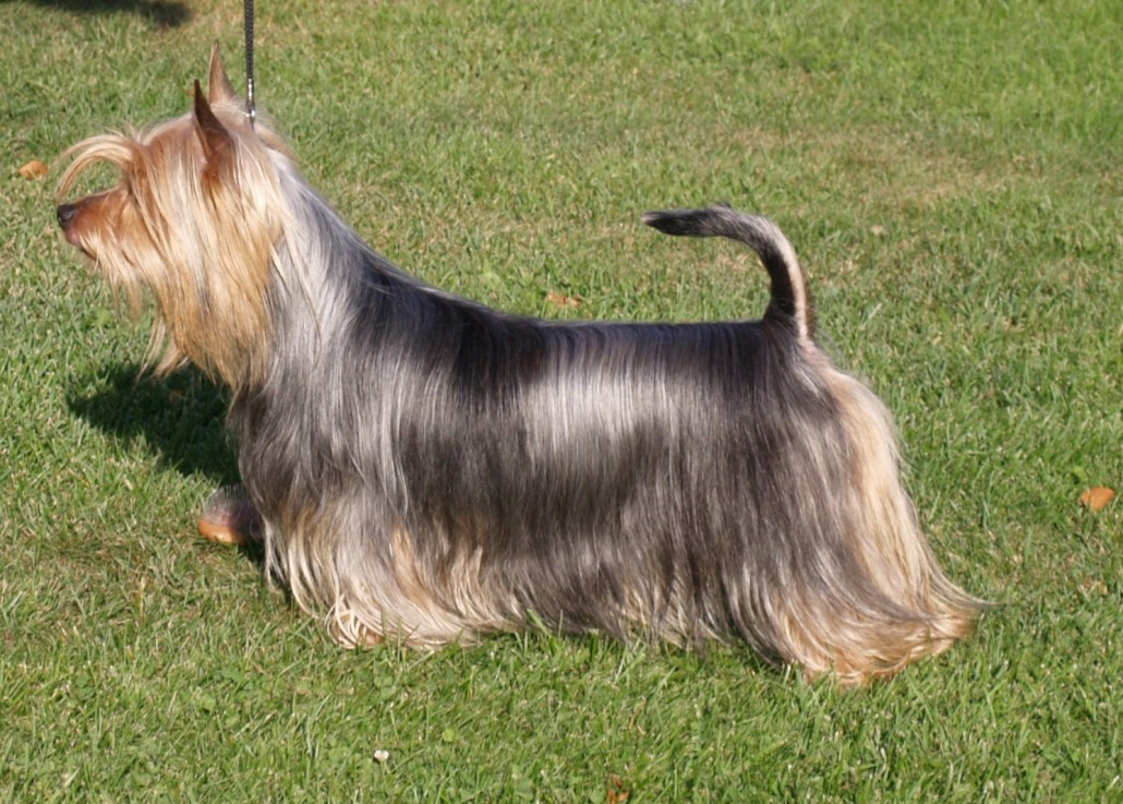 Australian Silky Terrier Breed Guide Learn About The