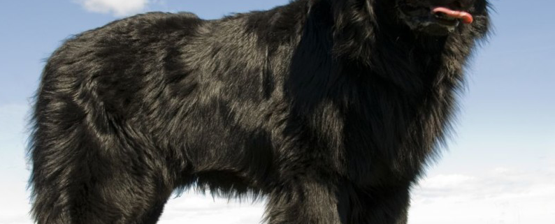 Large white bear breeds darksome chaser