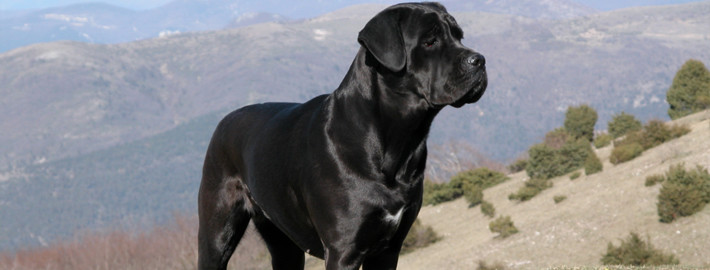 Cane Corso Breed Guide - Learn about the Cane Corso.