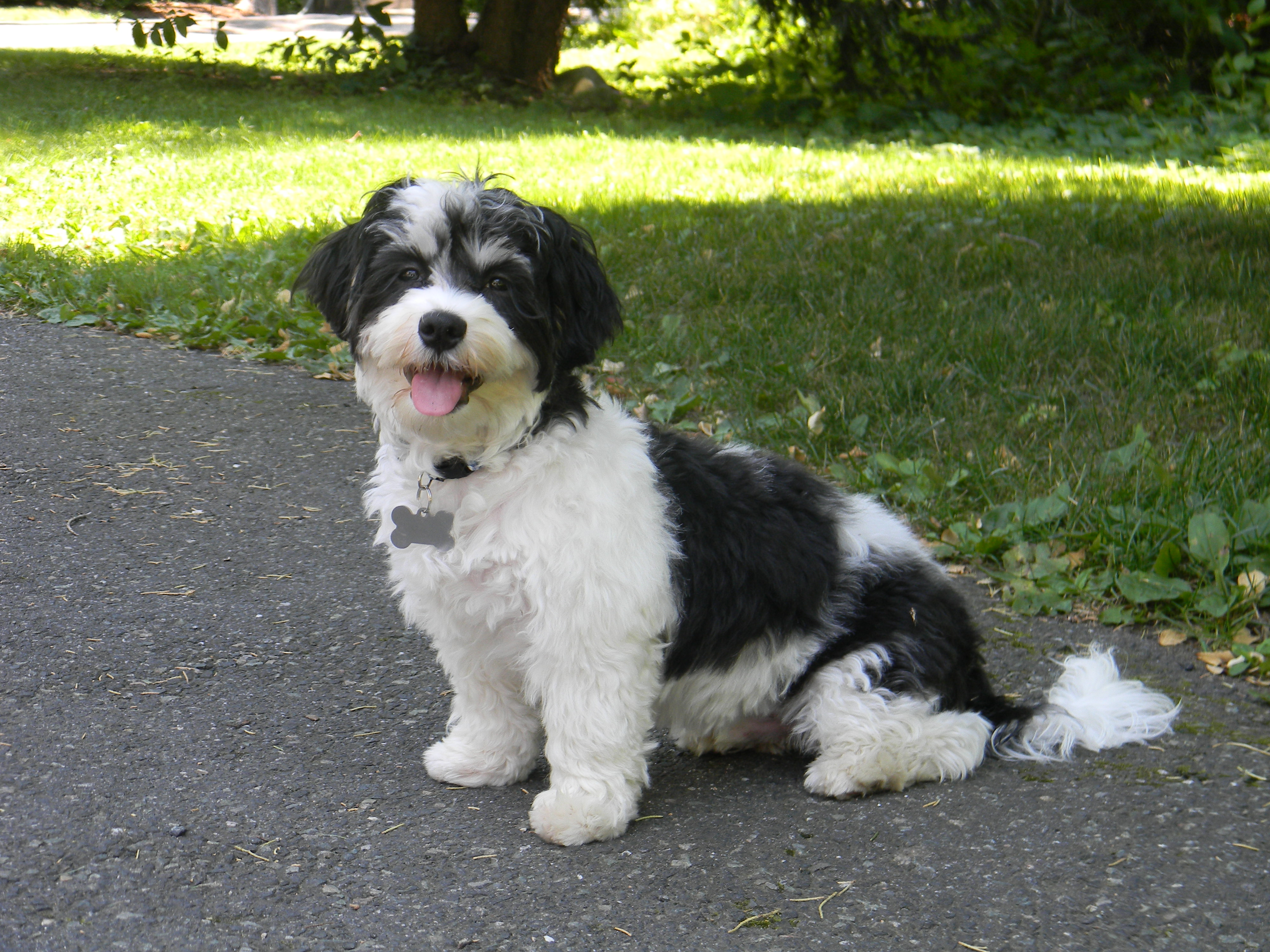 the gallery for gt havanese black and white puppy cut