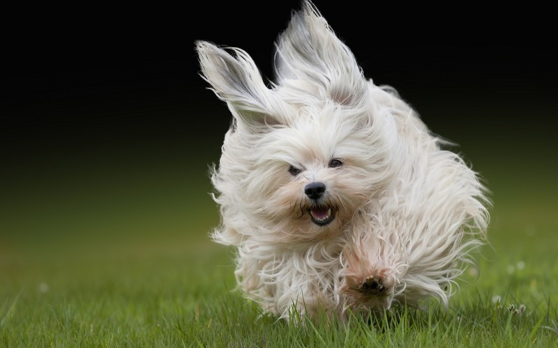 Havanese Breed Guide Learn About The Havanese
