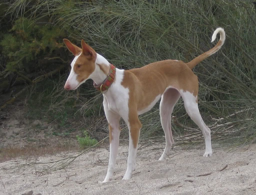 Ibizan Hound Breed Guide - Learn about the Ibizan Hound. Ibizan Hound Uk Breeders