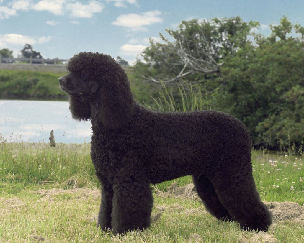Irish Water Spaniel Breed Guide Learn About The Irish