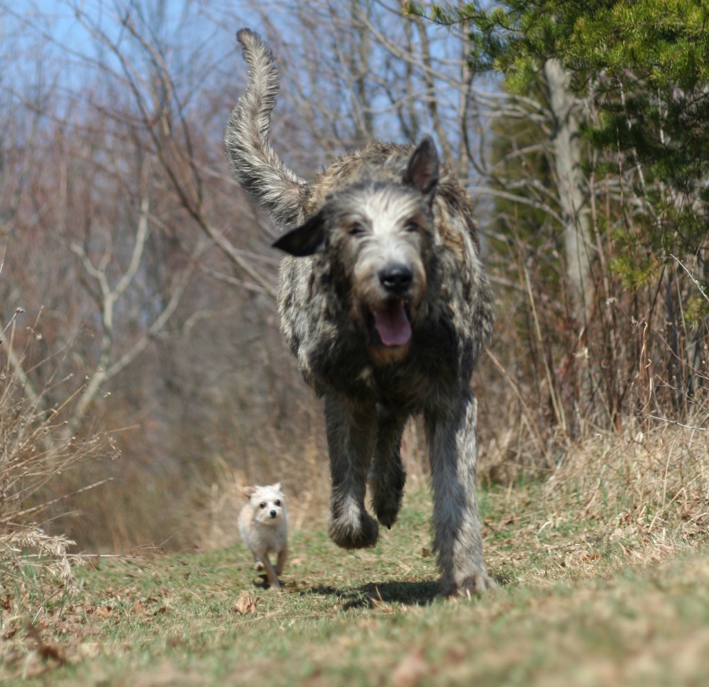 Learn About The Irish Wolfhound