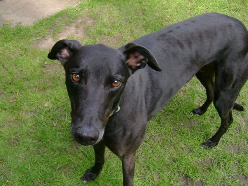 Italian Greyhound Breed Guide - Learn about the Italian ...