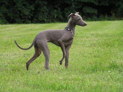 Italian Greyhound Breed Guide Learn About The Italian
