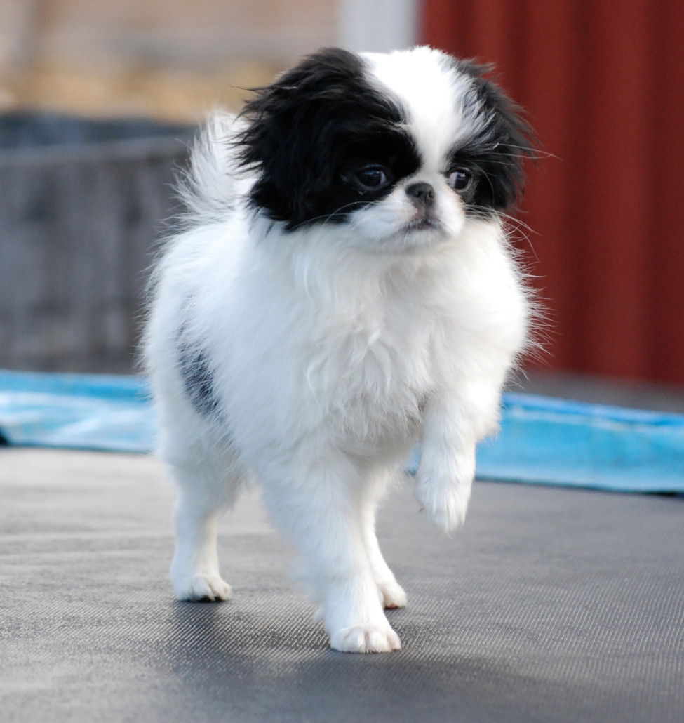 Japanese Chin Breed Guide Learn About The Japanese Chin