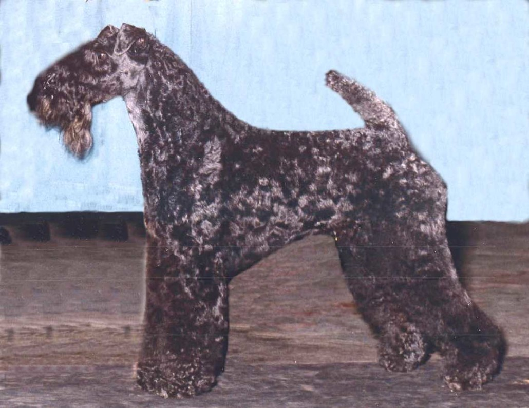 Kerry Blue Terrier Breed Guide Learn About The Kerry