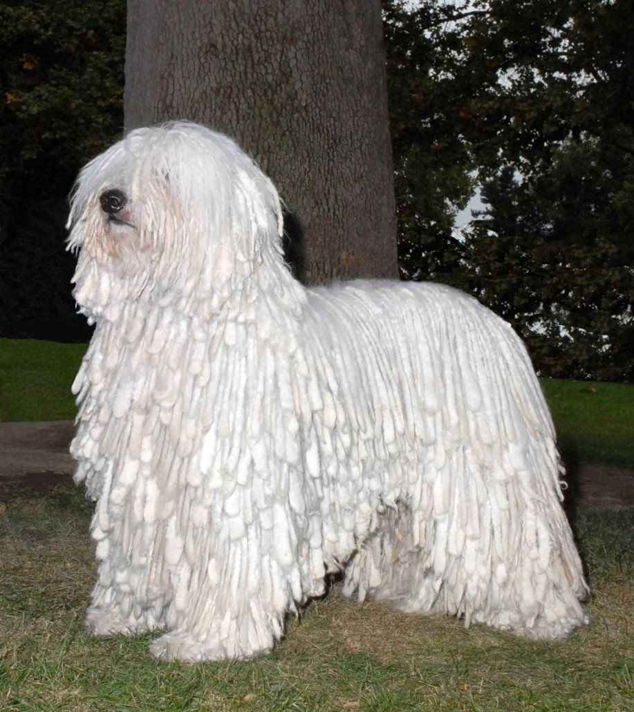 Komondor Breed Guide - Learn about the Komondor. Komondor Dog Pictures