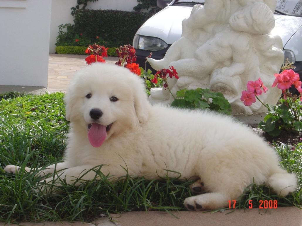 Kuvasz Breed Guide Learn About The Kuvasz