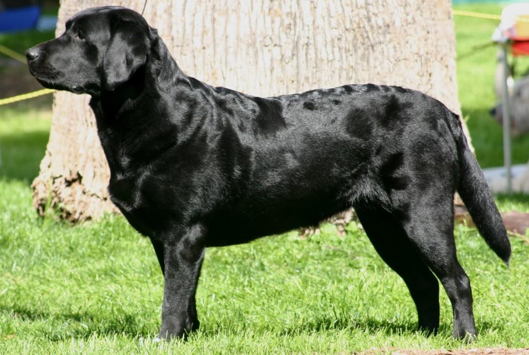 Black Retriever Cross Rescue Dogs