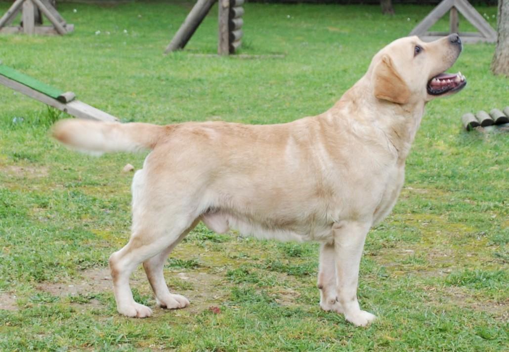 Obese Couch Potato Labrador Retriever Bre...