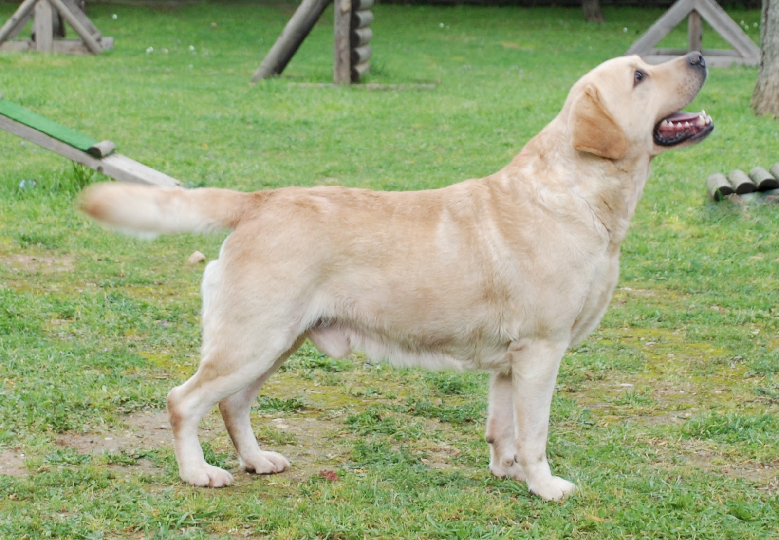 Labrador retriever breed guide learn about the labrador for Dog house for labrador retriever