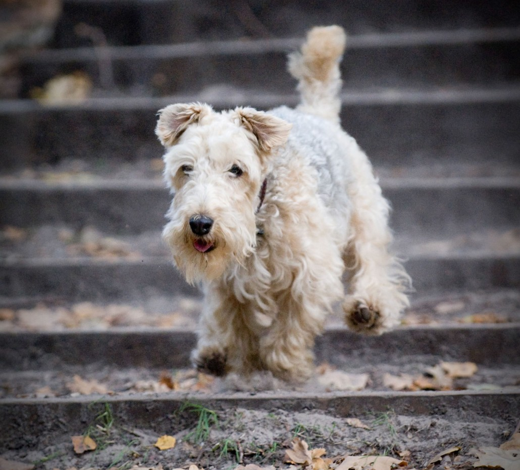 Lakeland Terrier Breed Guide - Learn about the Lakeland Terrier.