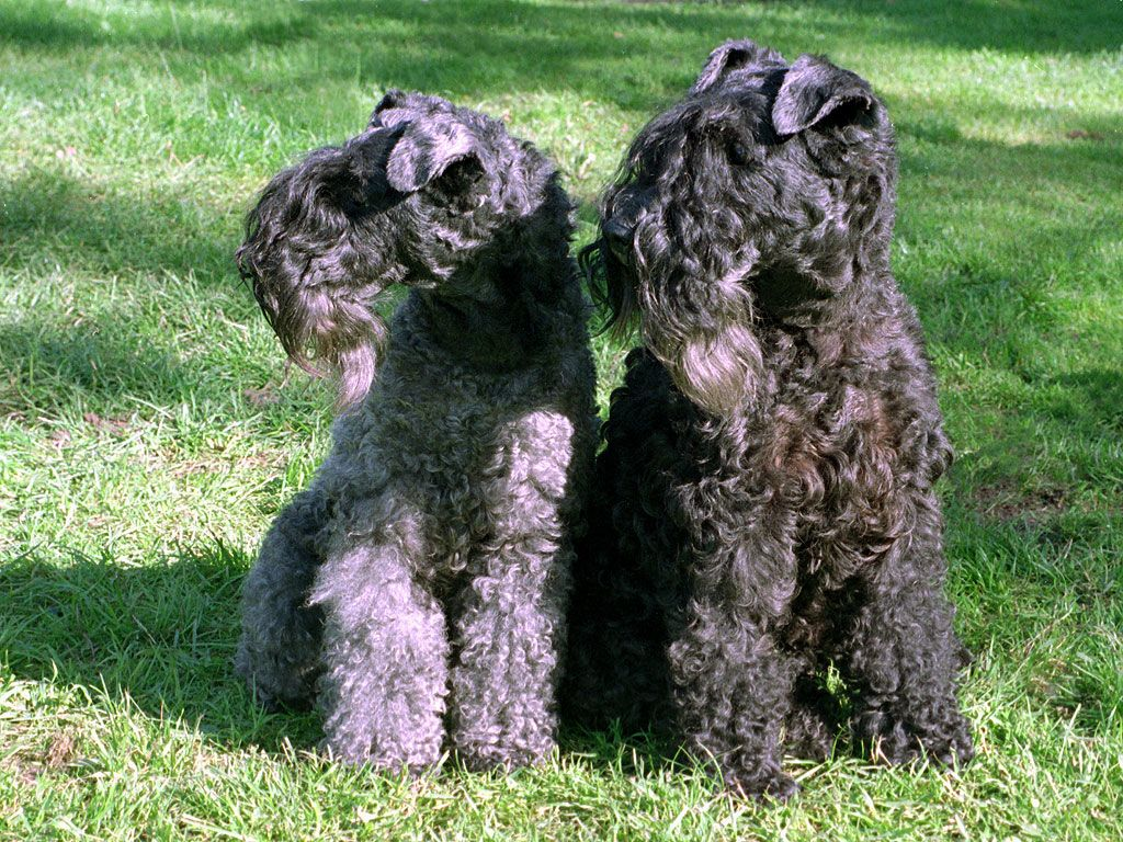 Lakeland Terrier Breed Guide - Learn about the Lakeland ...