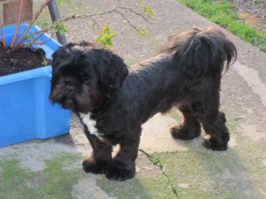 Lhasa Apso Breed Guide Learn About The Lhasa Apso