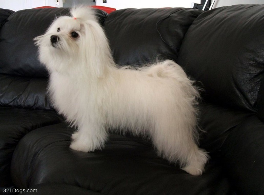 Maltese Breed Guide Learn About The Maltese