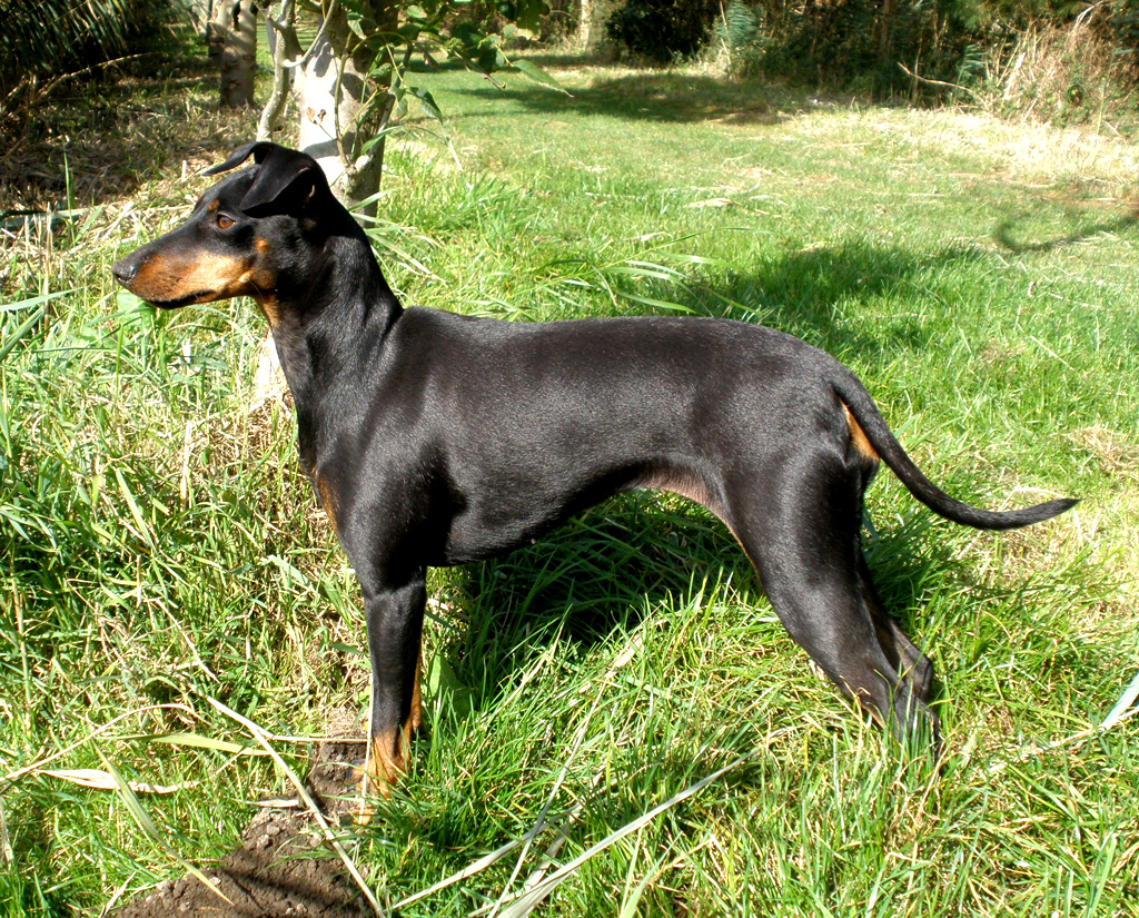 manchester terrier standard breed guide   learn about