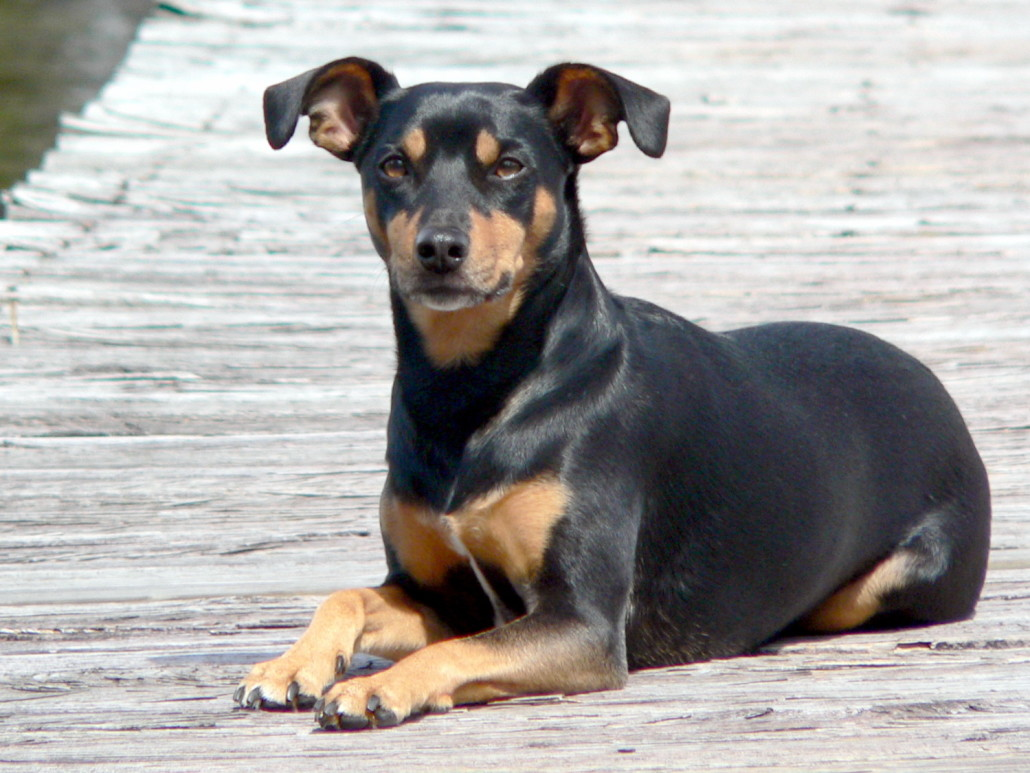 miniature manchester terrier manchester terrier standard breed guide learn about 917