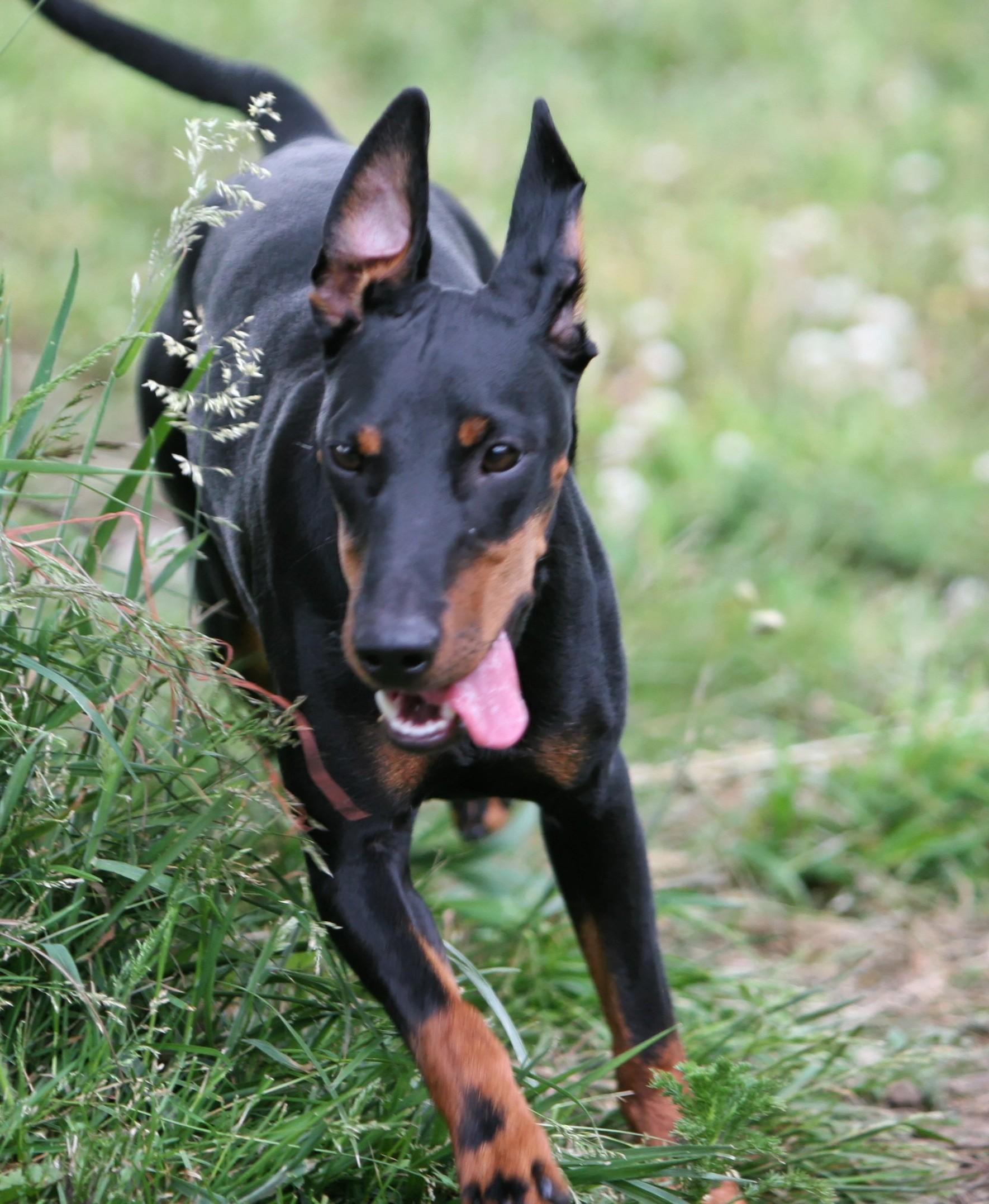 Toy Manchester Terrier : Toy manchester terrier breed guide learn about the