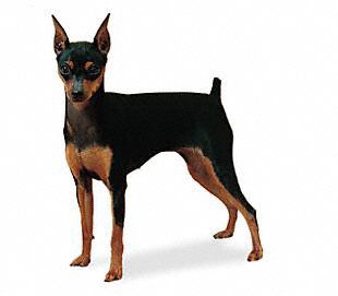 Miniature Pinscher Breed Guide - Learn about the Miniature ...
