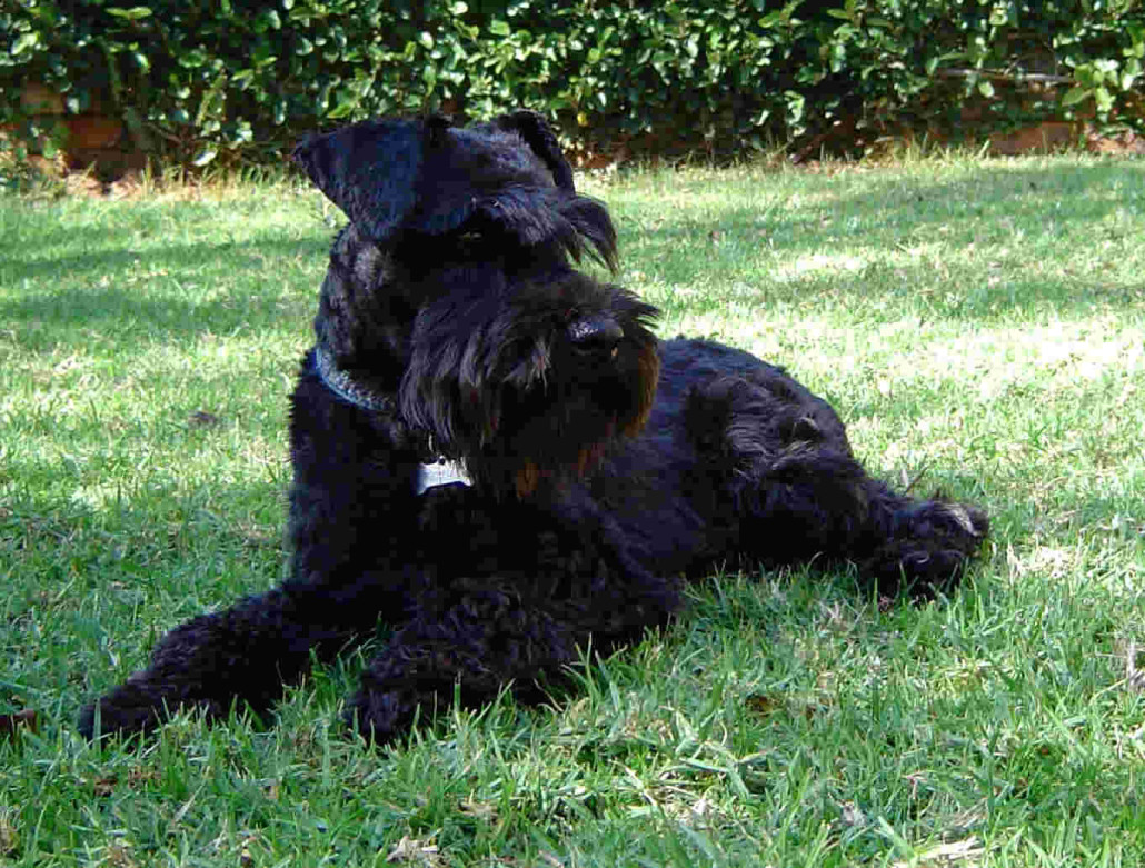 Schnauzer Miniature Breed Guide Learn About The