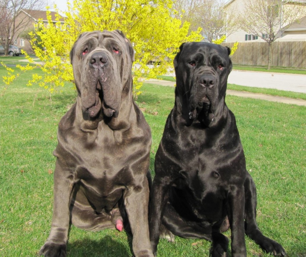 Neapolitan mastiff breed guide learn about the neapolitan mastiff neapolitan mastiff picture gallery geenschuldenfo Gallery