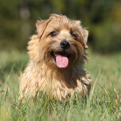 Norfolk Terrier Breed Guide Learn About The Norfolk Terrier