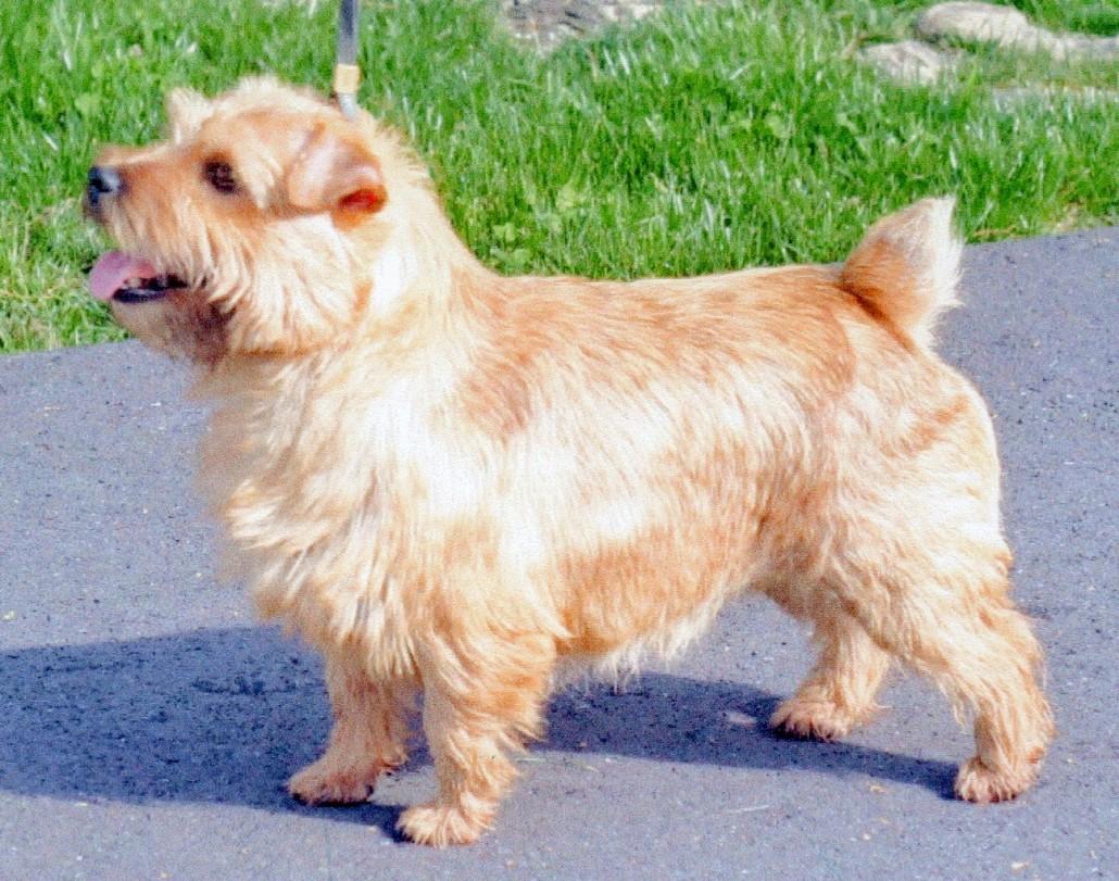 norfolk terrier breed guide