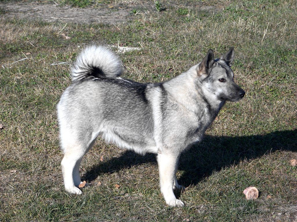 Norwegian Elkhound Breed Guide Learn About The Norwegian