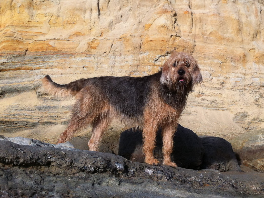 Otterhound Breed Guide Learn About The Otterhound