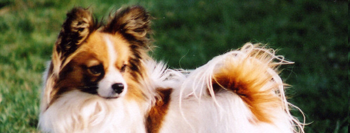 papillon breed guide