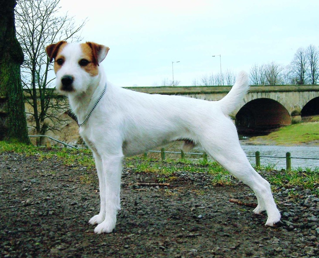 Parson Russell Terrier Breed Guide - Learn about the Parson Russell ...